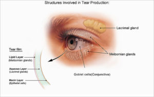 Structures Involved in Tear Production
